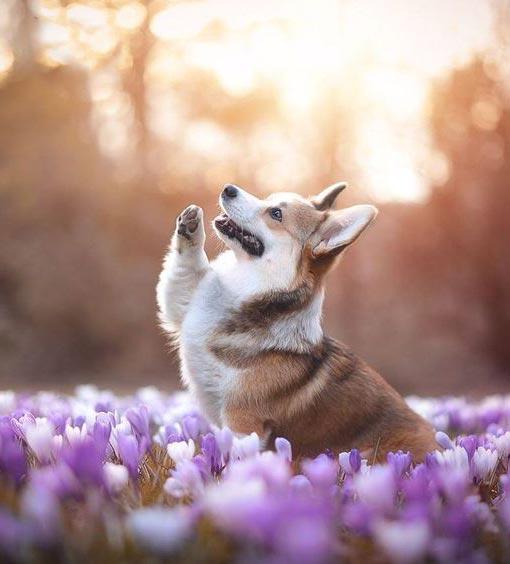 Top 10 giống chó đẹp và khôn nhất thế giới